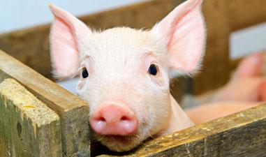11 דברים שלא ידעתם על חזירים