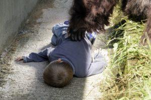לבאן מריט אחרי שנפל 4 מטרים לתוך מתחם הגורילות בגן החיות