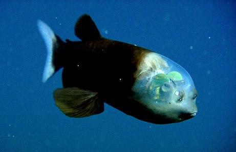 דג ראש הזכוכית