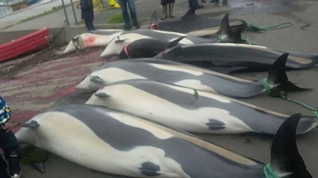 דולפינים שנתפסו