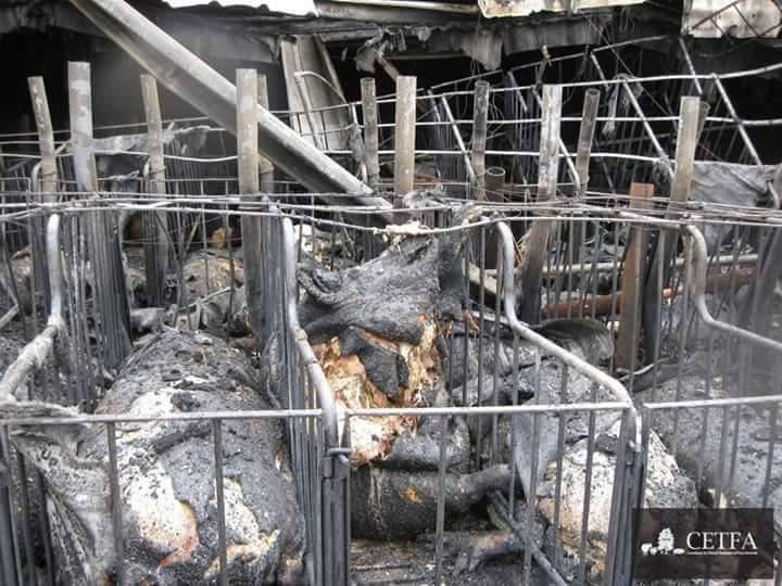 שריפה בדיר חזירים