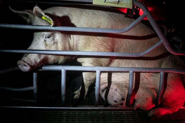חזירה כלואה בכלוב ללא יכולת לזוז