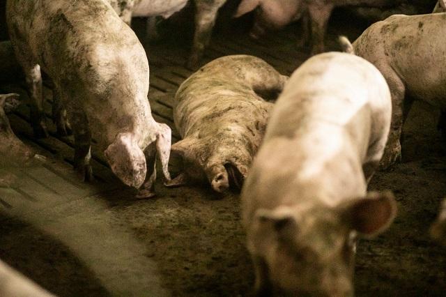 חזיר מת וגופתו נשארת בין חבריו