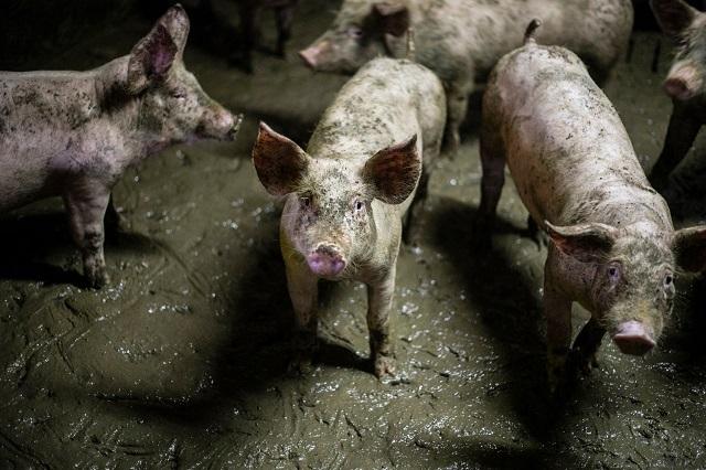 חזירים כלואים בצואתם