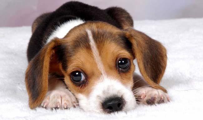 קנדה: סוף לניסויים בחומרי הדברה על כלבי ביגל
