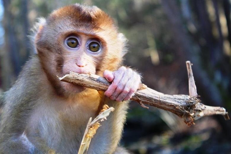 ניצול קופים בתעשיית הקוקוס