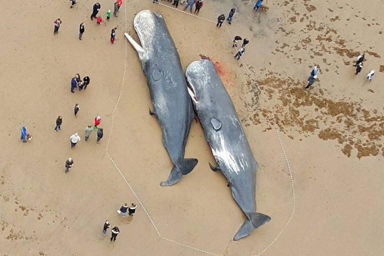 לווייתנים מתים נמצאו בגרמניה, קיבתם מלאה שברי פלסטיק