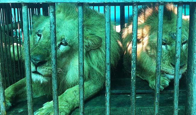 הרכבת האווירית הגדולה בהיסטוריה החזירה 33 אריות מקרקסים בחזרה לאפריקה