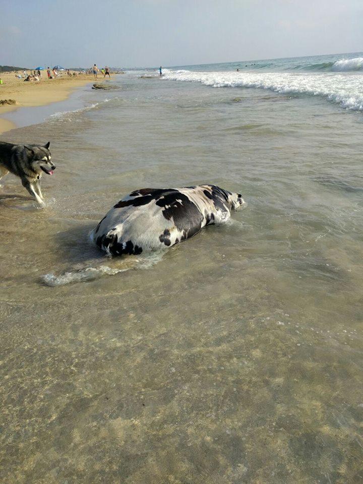 גופת עגל נוספת נפלטה אתמול - הפעם לחוף בצת בנהריה