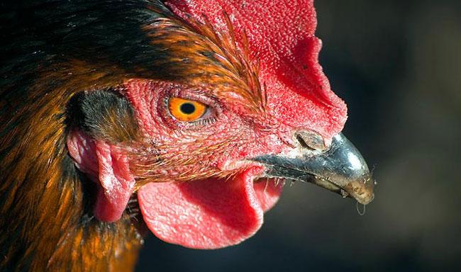 נסגר מתחם קרבות תרנגולים מהגדולים בארצות הברית