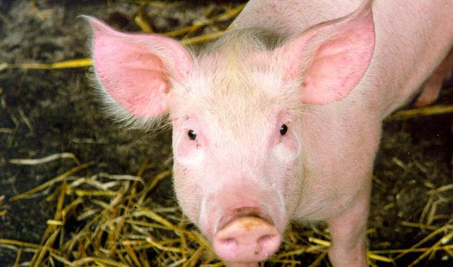 עובד בית מטבחיים הולך לכלא על התעללות בבעלי חיים