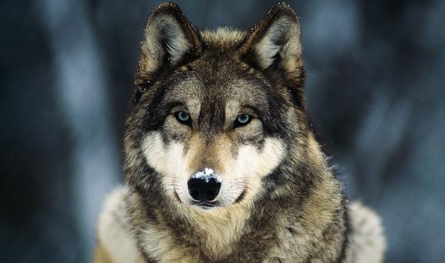 מדינת וושינגטון תהרוג להקת זאבים כדי להגן על רווחי בוקרים