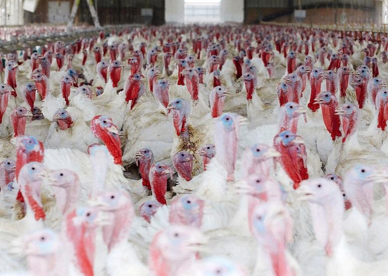 חג ההודיה: עובדי משחטות תרנגולי הודו עובדים בתנאים מסוכנים
