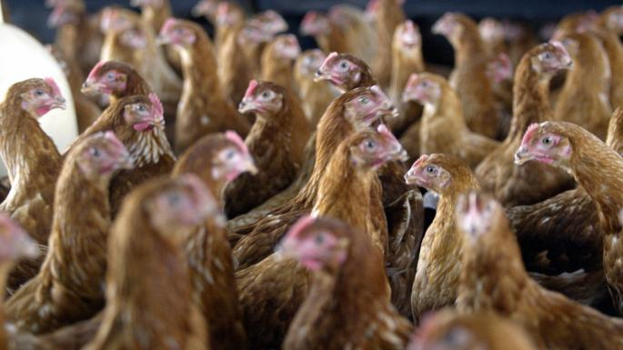 עובדים זרים בתעשיית הביצים זכו במיליון לירות בתביעה נגד מעסיקיהם