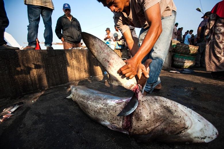 אייר צ'יינה אוסרת על הטסת סנפירי כרישים