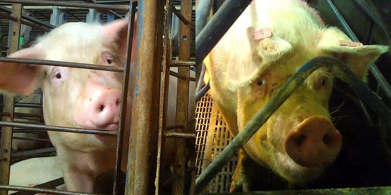 התעללות קשה התגלתה בדיר החזירים הגדול בארצות הברית