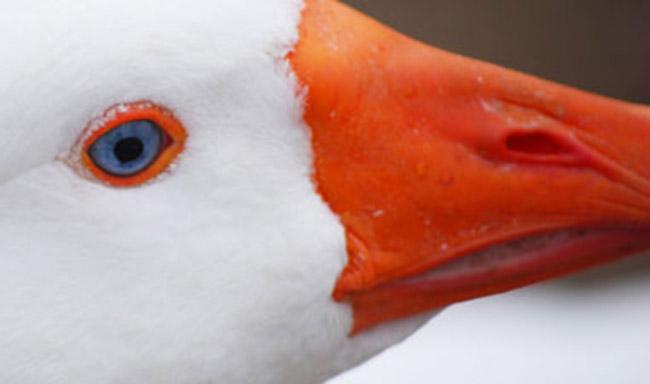 בריסל אוסרת על ייצור פואה גרא