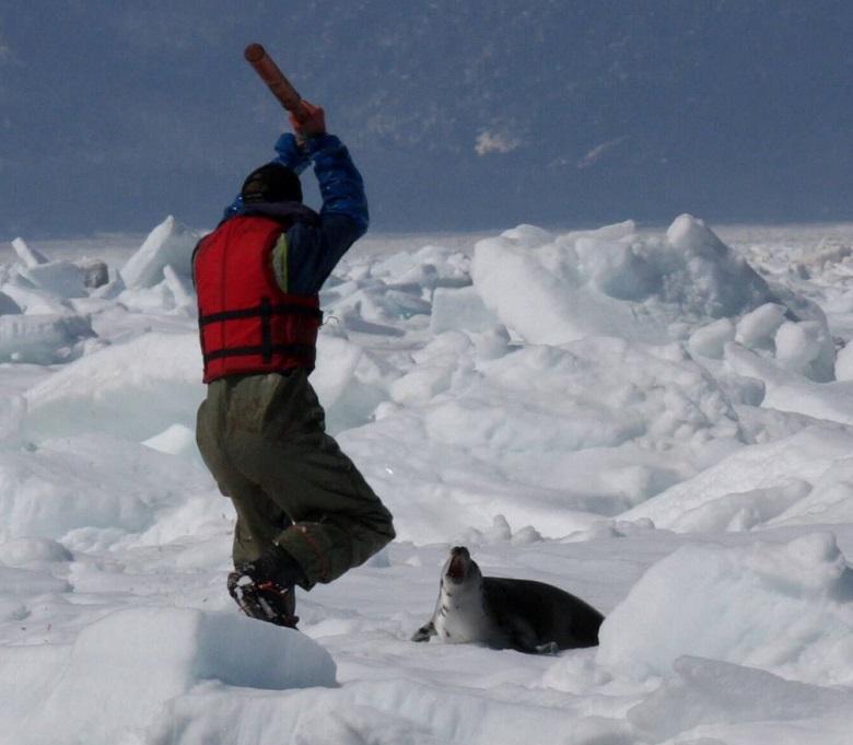 הטבח השנתי של גורי כלבי-ים בקנדה