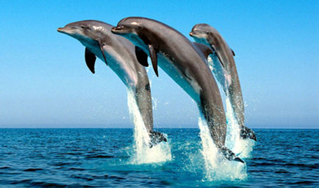צרפת אוסרת על רבייה של דולפינים ולווייתנים בשבי