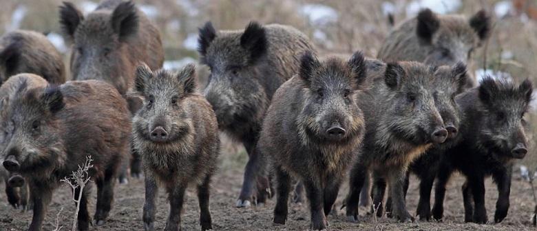 חזירי בר הרגו שלושה פעילי דאעש במהלך פעילות מבצעית