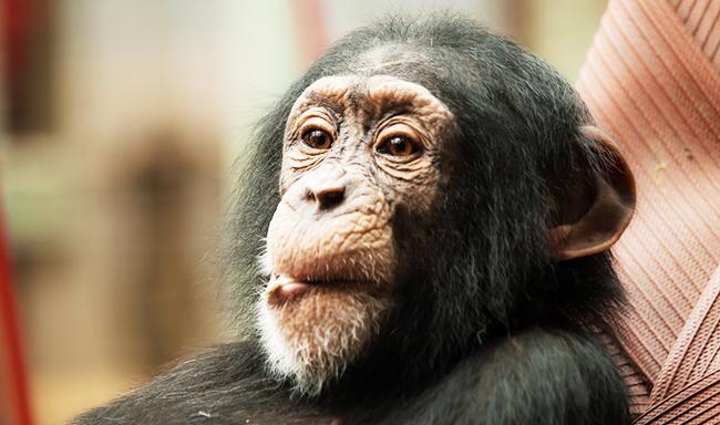 פרשת קופי מזור, גרסת ליבריה