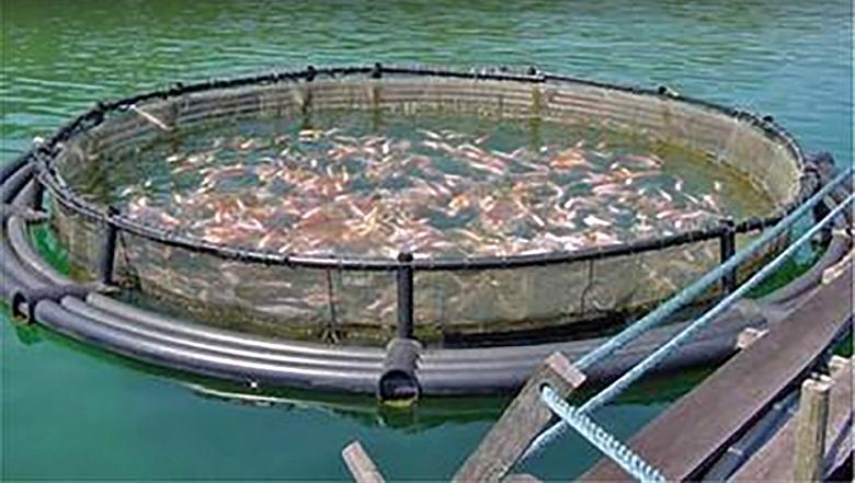 מאות אלפי דגי סלמון השתחררו לים כתוצאה מכלוב-ים שנשבר במדינת וושינטון