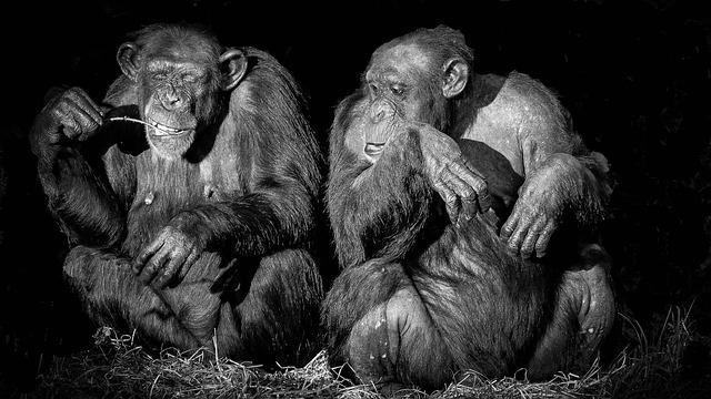 תם עידן הניסויים על שימפנזות