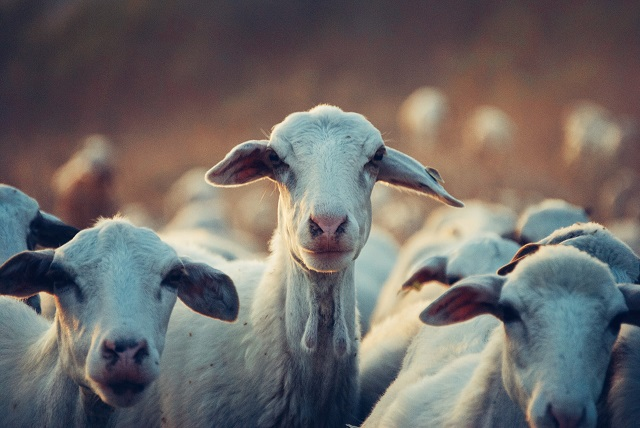 הפקרות: משרד החקלאות מפסיק לפעול למזעור ברוצלוזיס (קדחת מלטה)