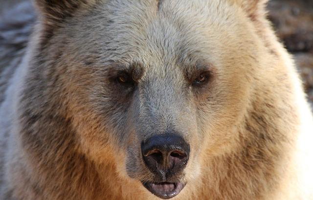 קולומביה הבריטית אוסרת על ציד דובים
