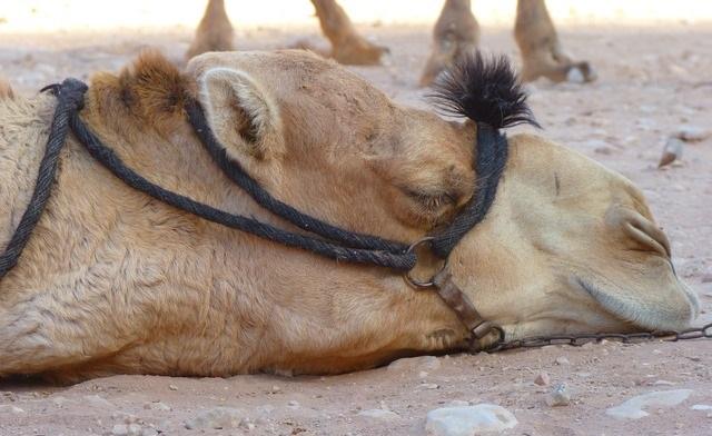 פטרה, ירדן: לחץ מופעל על האתר להפסקת ניצול בעלי חיים