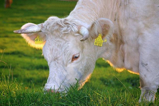 הדשא הולך להיגמר לבקר המרעה