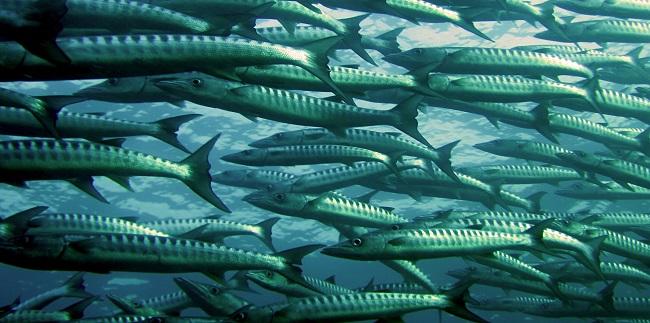 מחקר: חיסונים אינם יעילים על דגי בריכות עקב הזיהום