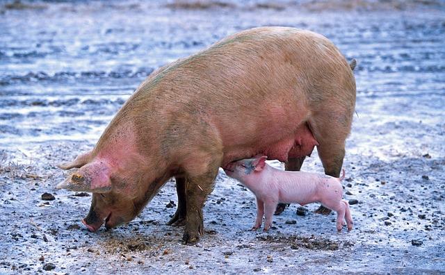 חזיר בותר מול ילדי גן