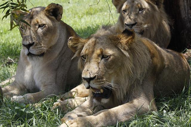 דרום אפריקה: אריות טרפו צייד למוות