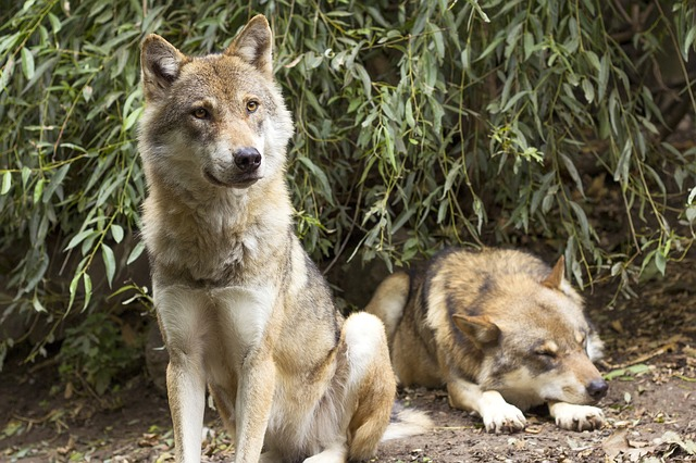 הארץ: משרד החקלאות מעניק כסף למגדלי בקר וצאן על מנת שיצודו זאבים