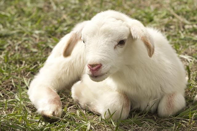כיכר השבת: בעולם מתוקן היינו נמנעים מלאכול בשר ועופות