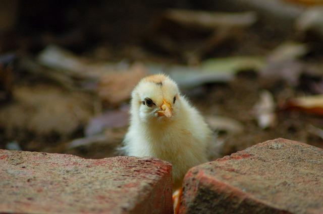 חיידקים צואתיים וסלמנולה בעופות ברשתות השיווק הגדולות