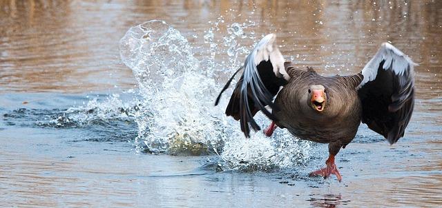 טולדו, ספרד: פסטיבל עריפת ראשי אווזים