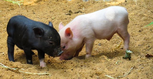 חיל הרפואה: כך הורגים חזירים כחלק מהכשרה רפואית