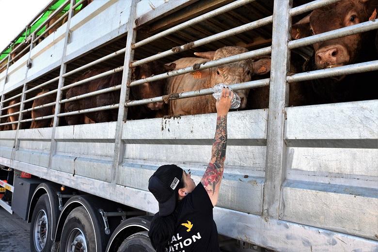 פעילים משקים את העגלים במשאית