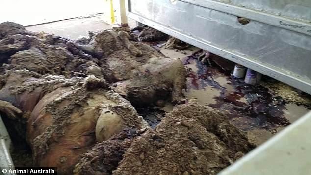 תיעוד חדש ומזעזע של כבשים על אניית מוות