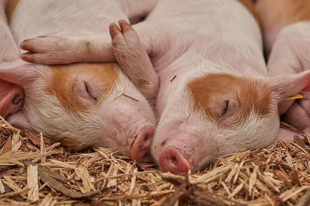 יוטה, ארצות הברית: פעילים עומדים למשפט על הצלת חזיר גוסס מדיר