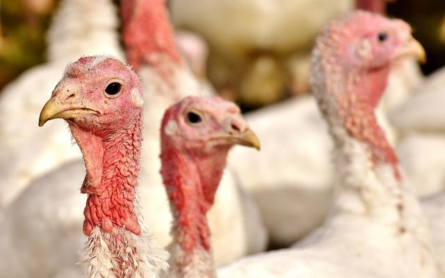 עין השלושה: מאות תרנגולי הודו נחנקו למוות מעשן השריפות