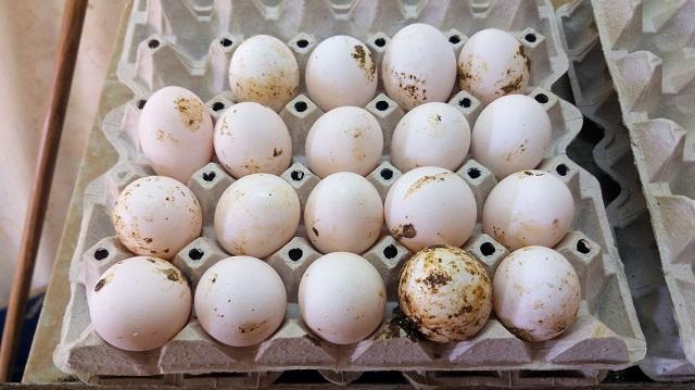 שנת ניטור ראשונה לסלמונלה בשלוחת ההטלה של ביצי מאכל