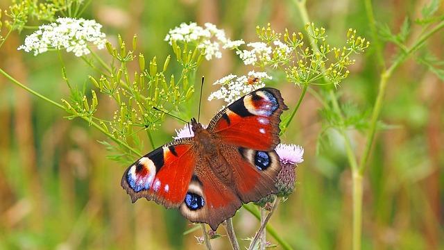 בריטניה: פרויקט ניטור הפרפרים הגדול בעולם