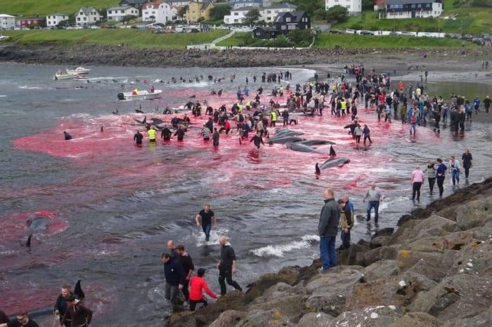 איי פארו: החלה עונת ציד הלווייתנים