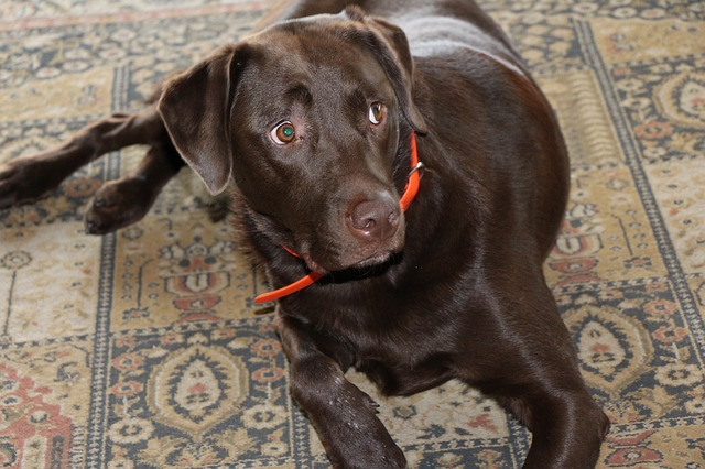 קולרים חשמליים לכלבים ייאסרו לשימוש בבריטניה