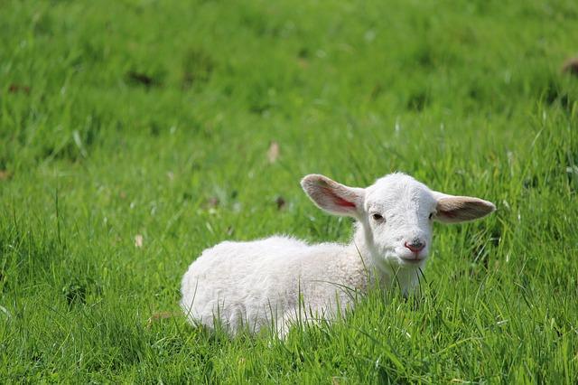 בריטניה: מכירות בשר כבש צונחות בזכות עלייתם של הטבעונים