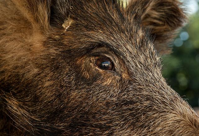 מודיעין עילית: אדם ירה בחזירים שחדרו לעיר