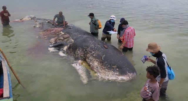 אינדונזיה: לווייתן מת נפלט לחוף ובקיבתו כ-1,000 חתיכות פלסטיק